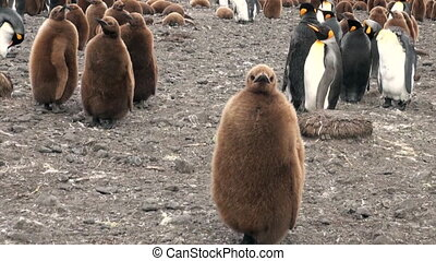 Adults and young Emperor Penguins on the Falkland Islands. -...