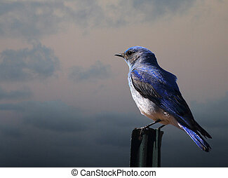 Bluebird on a Fence Post - Mountain Bluebird on a post in...