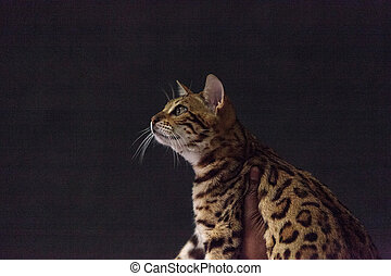 Bengal purebred cat with beautiful spots and markings