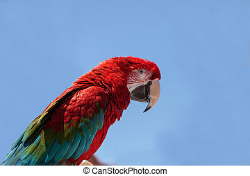 Green wing Macaw parrot bird Ara chloropterus with red,...