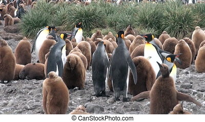 Adults and young king penguins on the Falkland Islands....
