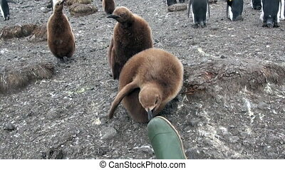 Young King Penguin is playing with rubber boots on the...
