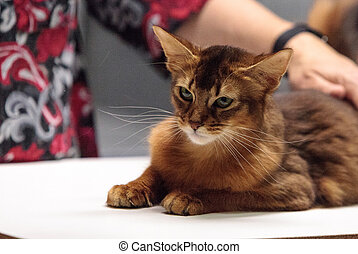 Red Somali purebred cat with beautiful spots and markings
