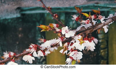 Abnormal Weather, Snow on a Flowering Apricot Tree - Snow...