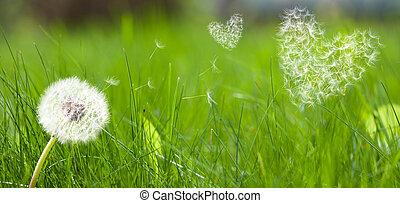 Sementes, voando, corações, forma,  Dandelion