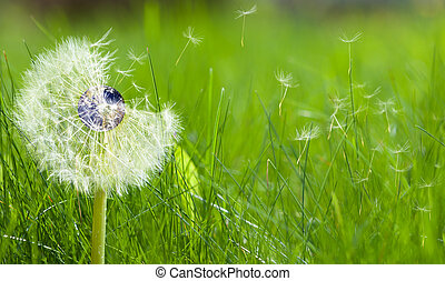 Dandelion with an earth core representing ecology concept