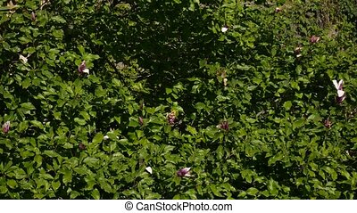 Blossoming flowers Magnolia liliiflora on a tree. Flora of...