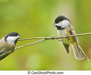 Ontario birds - Black-capped chickadees are fighting over...