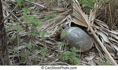 Land tortoise at the Barefoot Beach State Preserve in...