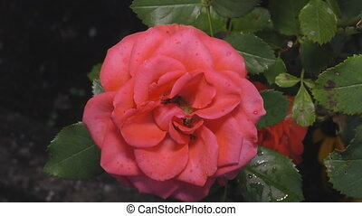 A very beautiful shrub roses rose amid a big garden - The...
