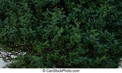Evergreen trees and shrubs Buxus, slowly growing. Flora of...