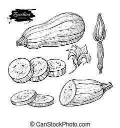 Zucchini hand drawn vector illustration set. Isolated...
