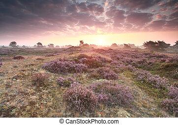 dramatic purple sunrise over heathland - dramatic purple...
