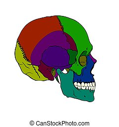 Colored human skull with a lower jaw. Vector illustration