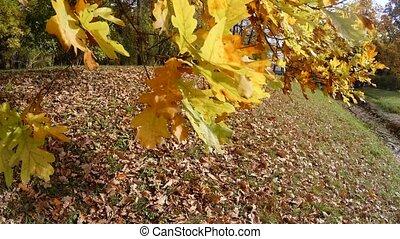 Yellow oak leaves. 4K.