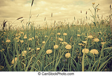 meadow with dandelions and Timothy-grass. - Russian meadow...