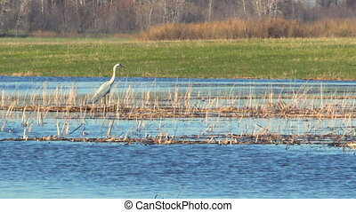Heron in the wild. The heron stands in the dry cane and...
