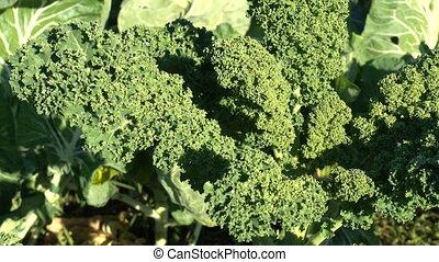 Organic kale growing in a field