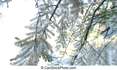 White fluffy trees Tamarix in the town of Ljuta. Plants of...