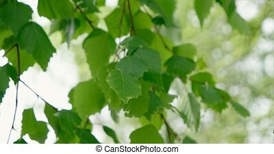 Natural background with birch branches and young bright...