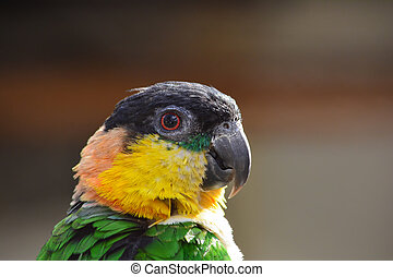 Parrot portrait - Parrot with green, yellow, orange and...