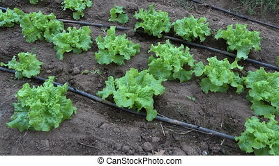 Row of lettuce in a greenhouse - Row of lettuce cultivated...