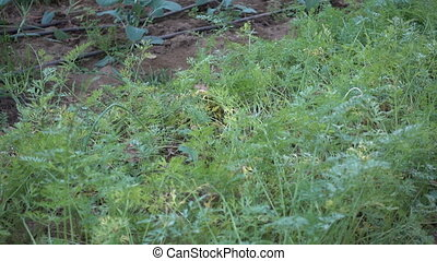 Row of carrots in a greenhouse - Row of carrots cultivated...
