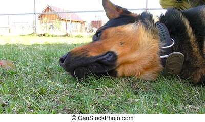 Big male hound laying on the grass close up view