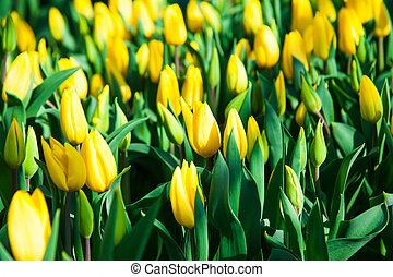 Spring scene of tulip field. Agribusiness greenhouse...