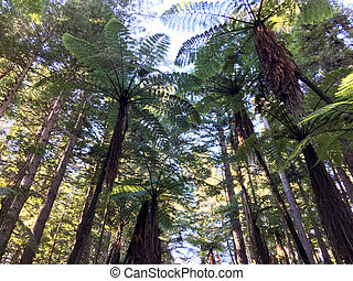 Giant redwood forests in Rotorua North Island New Zealand -...