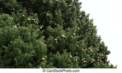 Cones on green cypress branches in Montenegro.
