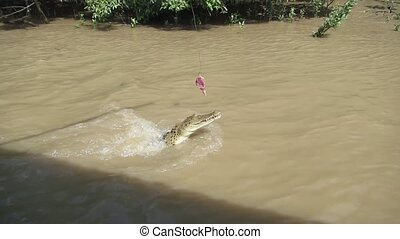 Jumping crocodile in Australia - Jumping young australian...