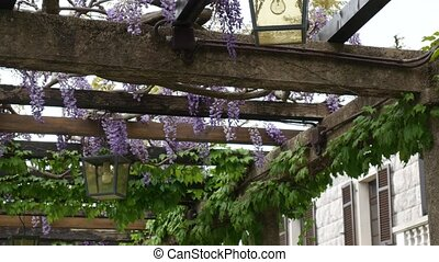 Vintage Lantern in blooming wisteria, Montenegro. - Vintage...
