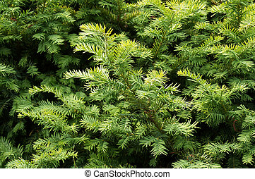 Yew tree. Growing branches with green needles. - Yew tree....