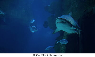 Shark Swims Underwater - Shark swims underwater at Moscow...