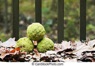 Osage Orange, North American Native Fruit - Three Osage...
