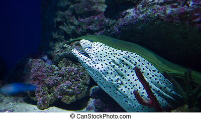 Spotted moray underwater at Moscow oceanarium