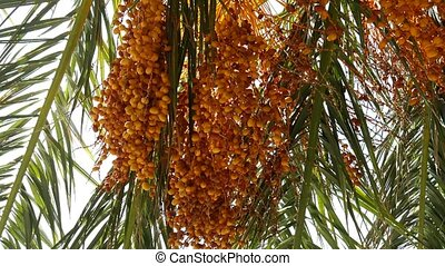 Date palm in Montenegro. Fruit on the palm tree.