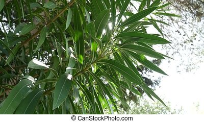 Branch with leaves of white oleander flowers. Flowers and...