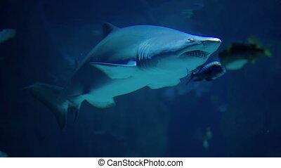 Shark Swimming Underwater - Shark swims underwater at Moscow...