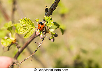 Ladybug on young leaves and currant berries in spring