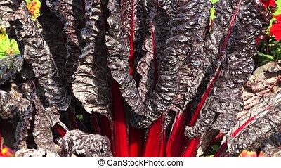 Black and red leaves. Rhubarb, salad. Shot in 4K (ultra-high...