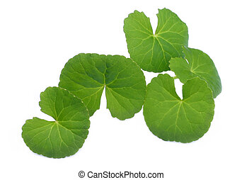 Herbal Thankuni leaves of Indian subcontinent