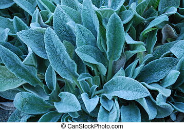 Lamb\'s ear - Close-up of lamb\'s ear