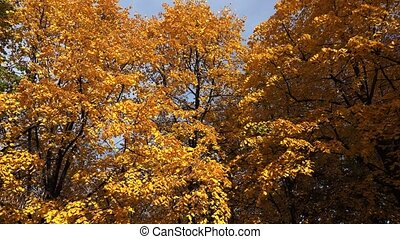 Poplar tree with yellow leaves. Autumn. Shot in 4K...