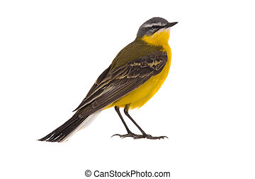 Western yellow wagtail (Motacilla flava)isolated on a white...