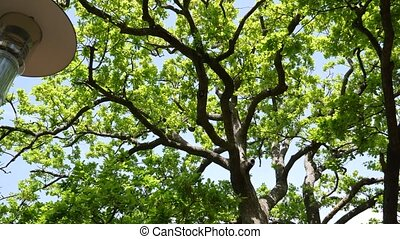 Green oak leaves on a tree. Green foliage on a tree in the...