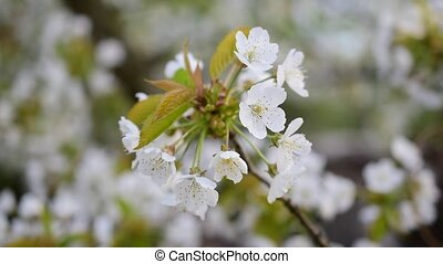 Blooming bunch of white cherry tree flowers