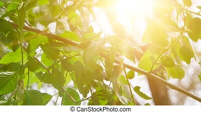 Elm leaves with backlit from sunlight and natural soft background. Selective focusing.