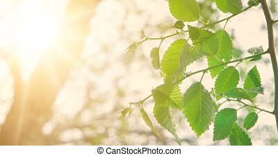 Green spring leaves of elm tree in front of sky with...